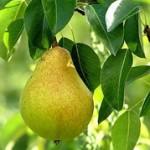Manfaat Pear dalam Parcel Buah
