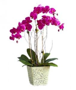 pot-bunga-anggrek-bulan-ungu