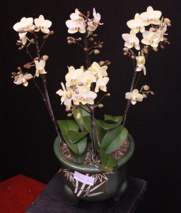 anggrek bulan toko bunga florist di jakarta barat