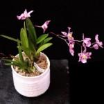 Toko Anggrek Dendrobium