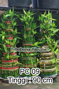 Jual-Pohon-Pachira-PC09