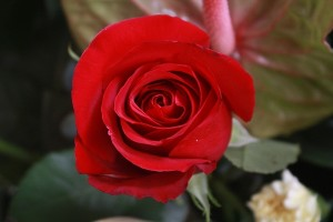 equador red rose for valentine day