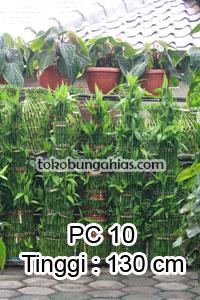 Jual-Pohon-Pachira-PC11
