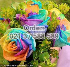 Jual-Mawar-Rainbow-Import-Untuk-Rangkaian-Istimewa