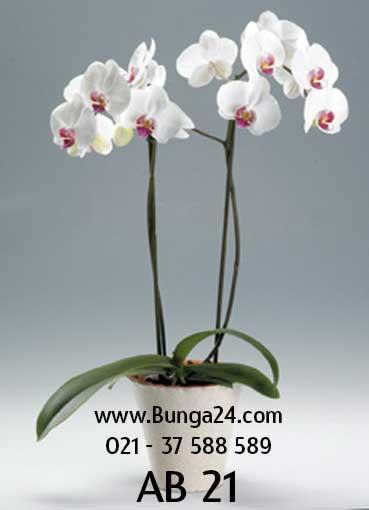 Anggrek-Bulan-Phalaenopsis-2-AB-21